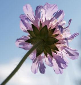 Wiesen Witwenblume Bluete lila Knautia arvensis 03