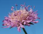 Wiesen Witwenblume Bluete lila Knautia arvensis 05