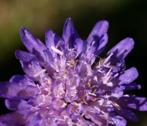 Wiesen Witwenblume Bluete lila Knautia arvensis 07