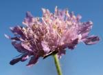 Bild: Wiesen-Witwenblume Blüte lila Knautia arvensis