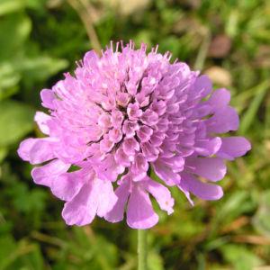 Wiesen Witwenblume Bluete pink Knautia arvensis 02