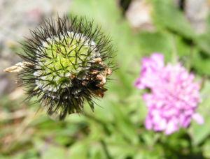 Wiesen Witwenblume Bluete pink Knautia arvensis 05