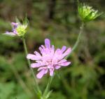 Wiesen Witwenblume Bluete pink Knautia arvensis 10