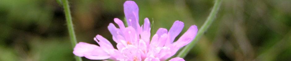 wiesen-witwenblume-bluete-pink-knautia-arvensis