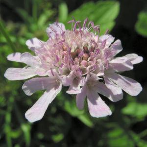 Wiesen Witwenblume Bluete pink Knautia arvensis 11