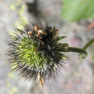 Wiesen Witwenblume Bluete pink Knautia arvensis 12