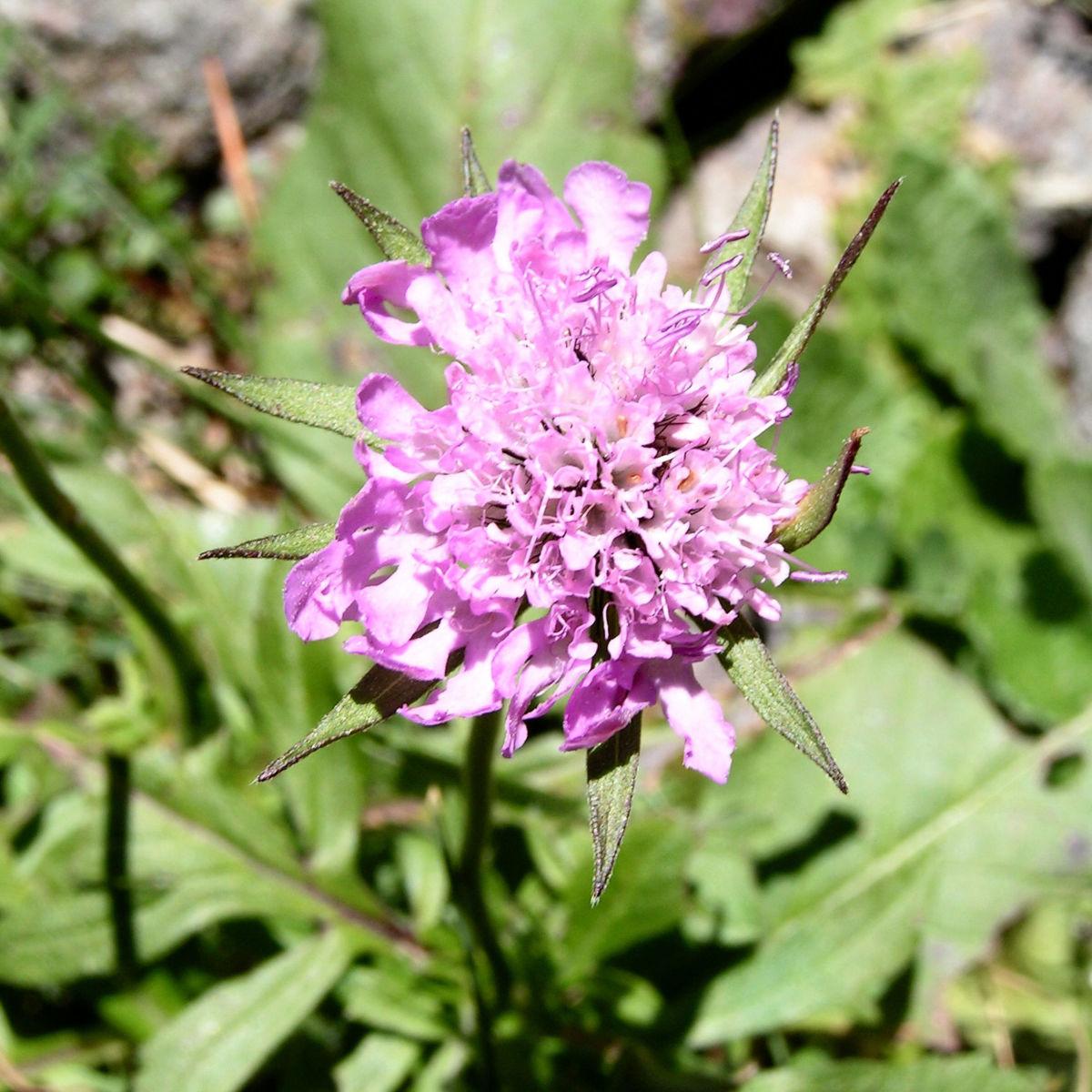 Wiesen Witwenblume Bluete pink Knautia arvensis