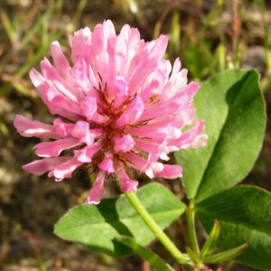 Wiesenklee Rot Klee Bluete hellpurpurn Trifolium pratense 02