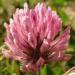 Zurück zum kompletten Bilderset Wiesen-Klee Rot-Klee Blüte hellpurpurn Trifolium pratense