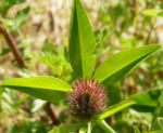 Wiesenklee Rot Klee Bluete hellpurpurn Trifolium pratense 05