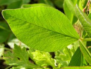 Wiesenklee Rot Klee Bluete hellpurpurn Trifolium pratense 06
