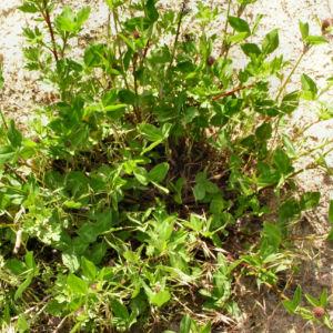 Wiesenklee Rot Klee Bluete hellpurpurn Trifolium pratense 07