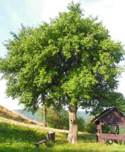 Wild Birne Holzbirne Frucht Blatt Rinde Pyrus pyraster 01