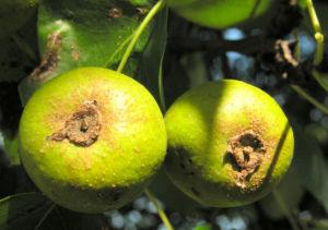 Wild Birne Holzbirne Frucht Blatt Rinde Pyrus pyraster 02