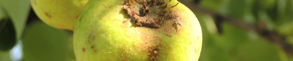 Anklicken um das ganze Bild zu sehen  Wildbirne Pyrus pyraster