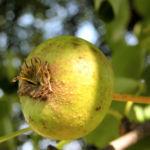 Wild Birne Holzbirne Frucht Blatt Rinde Pyrus pyraster 07