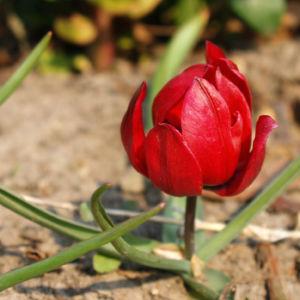 Wild Tulpe Bluete knallrot Tulipa orphanidea 04
