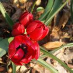 Wild Tulpe Bluete knallrot Tulipa orphanidea 05