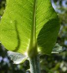 Wilde Karde Blatt gruen Dipsacus fullonum 16