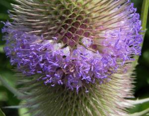 Wilde Karde Bluete pink Dipsacus fullonum 02