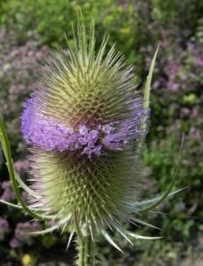 Wilde Karde Bluete pink Dipsacus fullonum 03