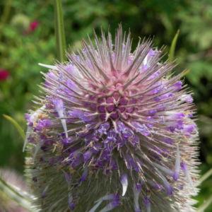 Wilde Karde Bluete pink Dipsacus fullonum 07