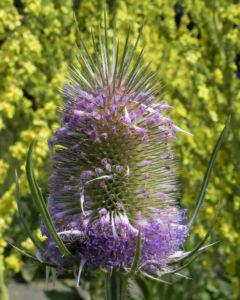 Wilde Karde Bluete pink Dipsacus fullonum 10