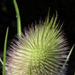 Bild: Wilde Karde Blatt grün Blüte rose Dipsacus fullonum