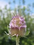 Wilde Karde Bluete rose Dipsacus Sylvestris 01