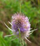 Wilde Karde Bluete rose Dipsacus Sylvestris 07