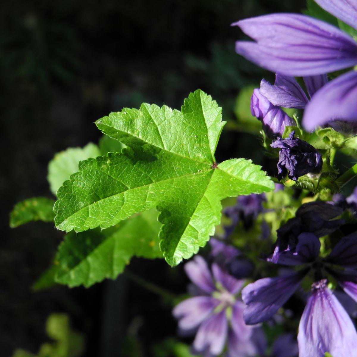 Wilde Malve Blatt gruen Malva sylvestris