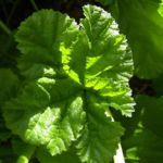 Bild: Wilde Malve Blatt grün Malva sylvestris