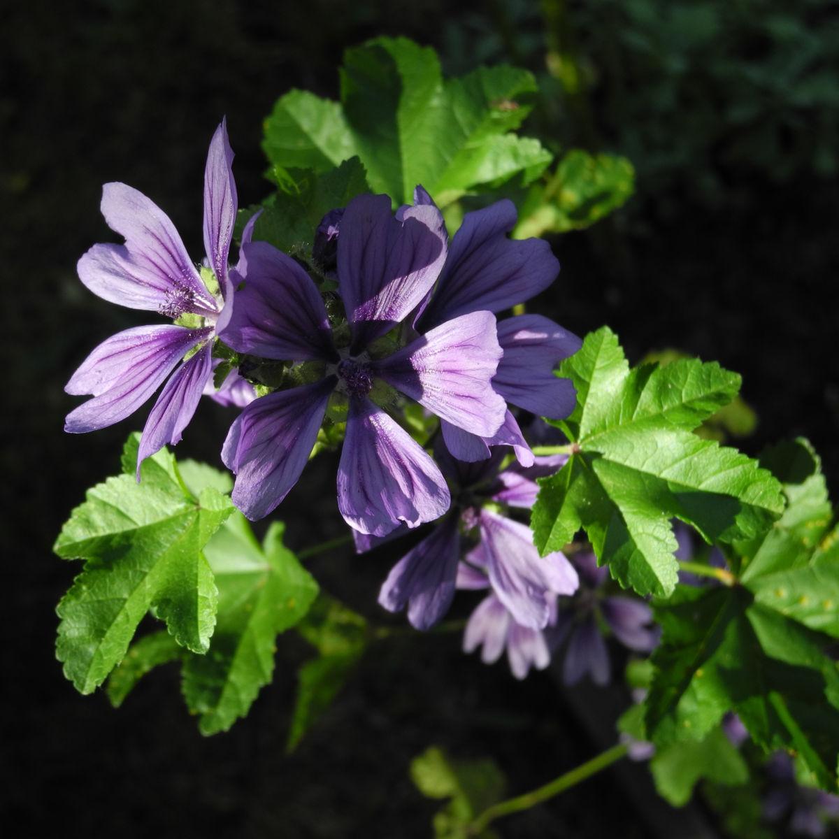 Wilde Malve Bluete lila Malva sylvestris