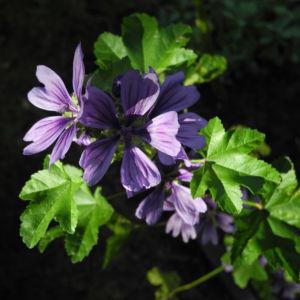 Wilde Malve Bluete lila Malva sylvestris 05