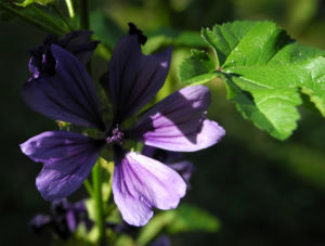 Wilde Malve Bluete lila Malva sylvestris 10