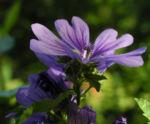 Wilde Malve Bluete lila Malva sylvestris 12