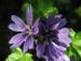 Zurück zum kompletten Bilderset Wilde Malve Blüte lila Malva sylvestris