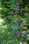 Bild: Wilde Malve Blüte purpur Malva sylvestris