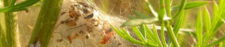Anklicken um das ganze Bild zu sehen Wilde Möhre - Daucus carota