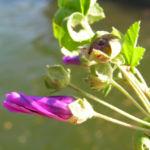 Bild: Wilde Malve Schönmalve Blüte helllila Malva sylvestris