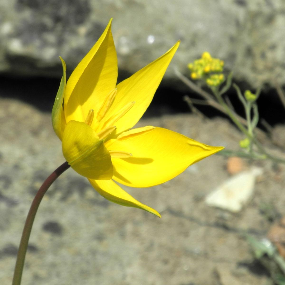 Wilde Tulpe Bluete gelb Tulipa sylvestris