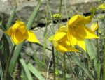 Wilde Tulpe Bluete gelb Tulipa sylvestris 10