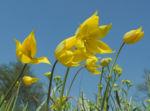 Wilde Tulpe Bluete gelb Tulipa sylvestris 12