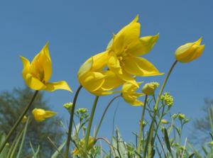 Wilde Tulpe Blüte gelb Tulipa sylvestris
