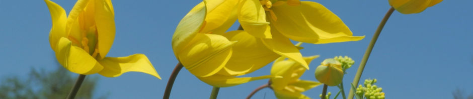 wilde-tulpe-bluete-gelb-tulipa-sylvestris