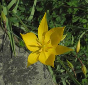 Wilde Tulpe Bluete gelb Tulipa sylvestris 14