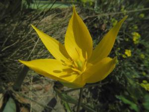 Wilde Tulpe Bluete gelb Tulipa sylvestris 17