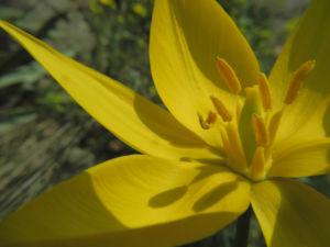 Wilde Tulpe Bluete gelb Tulipa sylvestris 19