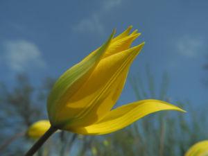 Wilde Tulpe Bluete gelb Tulipa sylvestris 24