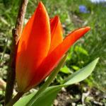 Wilde Tulpe rot Tulipa 01